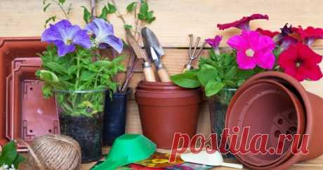 How to grow up seedling of a petunia from seeds in house conditions the Homeland of this beautiful perennial of family Solanaceous – tropics of South America. But also in our middle latitudes it feels excellently, being pleasing to the eye long blossoming, splendor, brightness and abundance of shades of large flowers. The speech about a petunia.