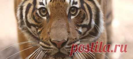 Вместе с тигрицей Надей коронавирусной инфекцией заражены ее соседи — сестра Азул, два амурских тигра и африканские львы.