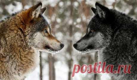 Притча про двух волков. Читать 20 секунд, а будете помнить вечно!  Когда-то давно старый индеец открыл своему внуку одну жизненную истину. — Каждый человек постоянно ведёт внутреннюю борьбу. Это происходит потому, что внутри нас живёт два волка — начал мудрый индеец…