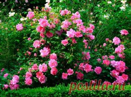 10 простых правил ухода за розами осенью. Профилактическая обработка. Укрытие. Фото