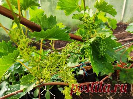 Наступает пора нормировки гроздей винограда, что следует знать об этом | Самарский виноград | Яндекс Дзен