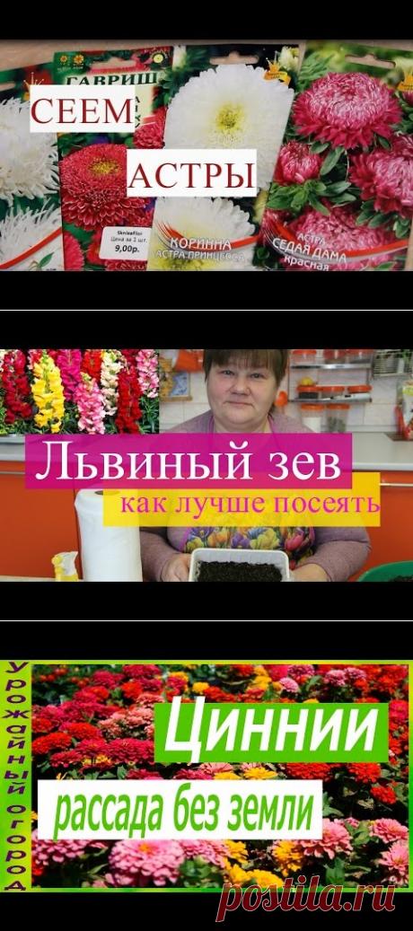 Астры Взойдут Щеткой! Посев Астры Без Пикировки. - YouTube