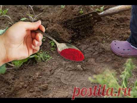 Чайная ложка заменит навоз и все удобрения в огороде, добавляю это в почву!