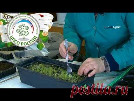 Выращивание петунии. Пикировка сеянцев петунии. - YouTube