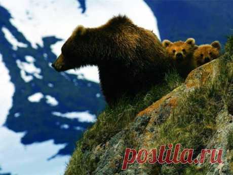 Медведи..