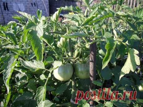 Вкусный Огород: Прищипка помидоров
