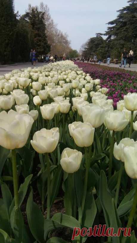 В Севастополе зацвели тюльпаны.