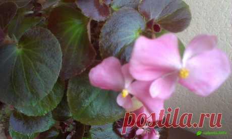 Бегония вечноцветущая для сада и дома