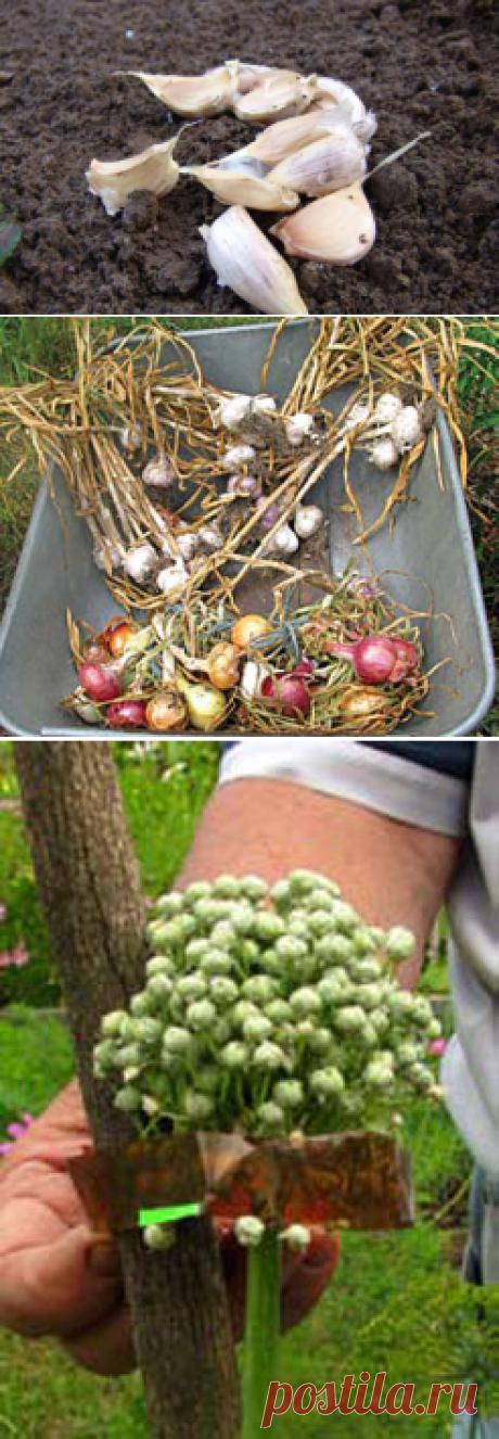 Как посадить озимый чеснок по методу Бориса Бублика — 6 соток