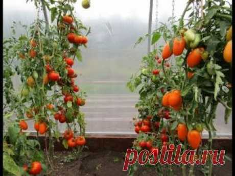Как подвязать помидоры в теплице без узлов супер быстро