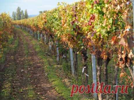 Что нужно знать о подготовке винограда к зиме? Как легко и быстро укрыть виноград на зиму?