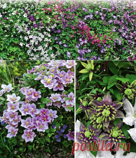 Клематисы: 10 эффектных идей для цветника