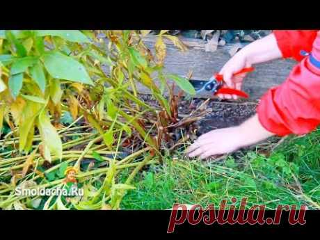 Обрезка пионов осенью. Как правильно обрезать пионы