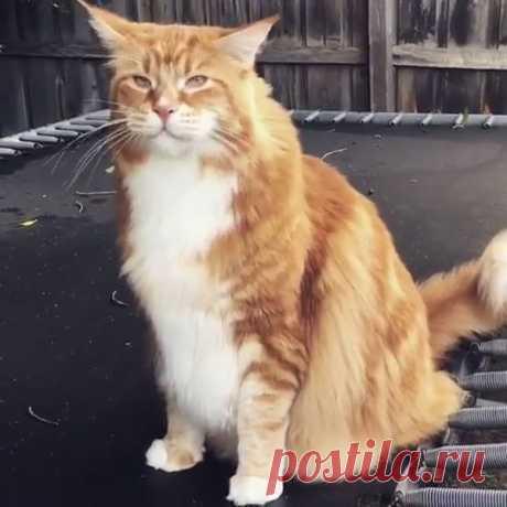 Самый крупный кот в мире: 14 кг живого волосатого веса! | Жена Звездочета | Яндекс Дзен