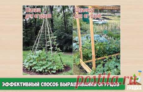 Особый и эффективный способ выращивания огурцов Огурцы – любимый овощ на наших грядках. Их выращивают и в открытом грунте, и в теплице, и стелющимися по земле, и на шпалерах. Делать шпалеру для огурцов – дело хлопотное и затратное. Для этого нужны и материал, и мужская сила. Я придумала свой способ выращивания огурцов, чтобы они плелись на подставках.Я как обычно готовлю семена к посеву. Заранее заготавливаю жерди из молодых прошлогодних побегов, а затем использую из в кач...