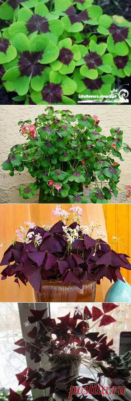 КИСЛИЦА - комнатное растение   Наш уютный дом