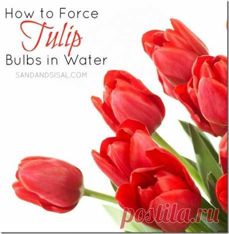 Как заставить луковицы тюльпанов в воде - песка и Сизаля