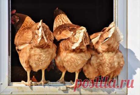 Какую часть курицы лучше не есть