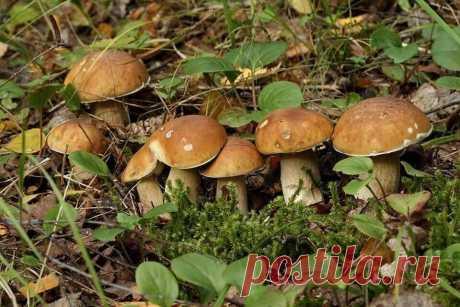 Как найти белый гриб. 3 верных способа проверенных временем | Удачные дела | Яндекс Дзен