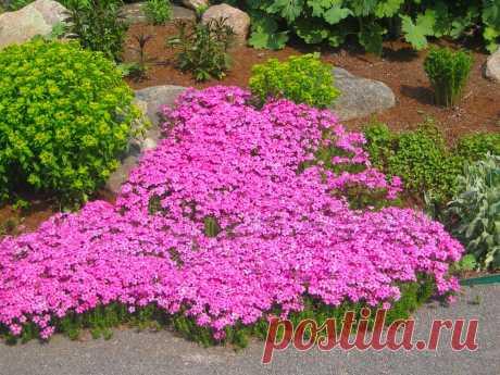 Почвопокровные растения и цветы с фото и названиями видов и сортов