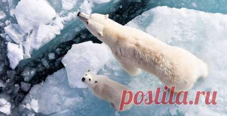 Почему белые медведи не живут в Антарктиде, а пингвины — в Арктике? / Путешествия / Моя Планета
