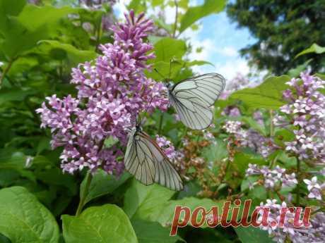 персидская сирень  бабочка
