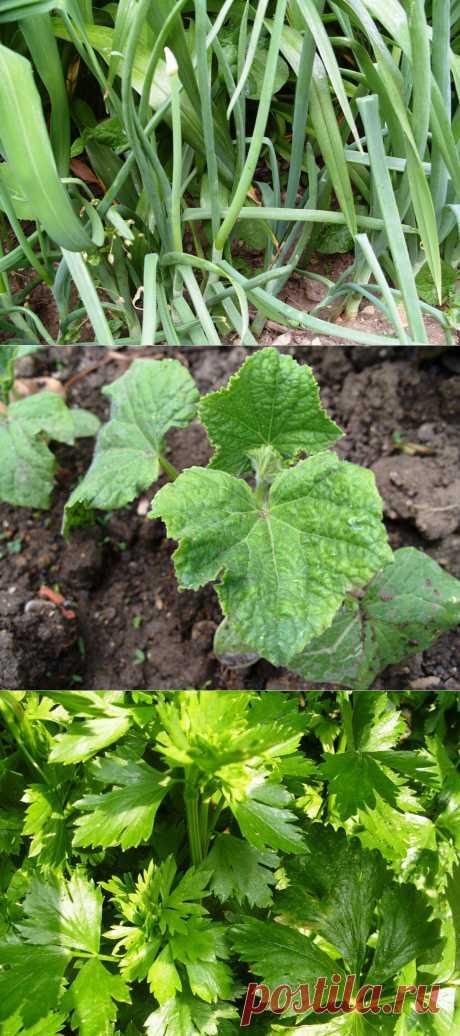 Что с чем растёт? Совместимость растений на грядке.Какие растения могут расти вместе с другими, а какие противопоказано сажать рядом? Что лучше сажать на грядках прошлого года? Какие овощи на грядках совместимы друг с другом? Эта таблица поможет вам сделать правильный выбор.