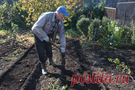 Как посадить озимый чеснок: пошаговая инструкция для новичков | Капуста, лук, чеснок (Огород.ru)