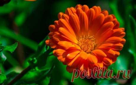 Растения, улучшающие работу печени | Здоровье проявляет красоту | Яндекс Дзен