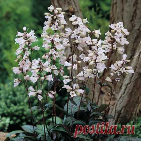 Пенстемон — редкий гость в садах — 6 соток