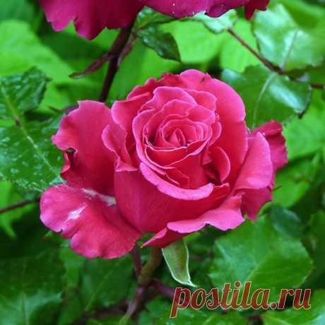 Цветок, всегда вызывающий восхищение... 💖 ⠀ ⠀ ⠀ #розы #розарий #моицветы #цветник #дачница #мойсад #7дач #7dach ⠀ Автор фото: Татьяна Зимина
