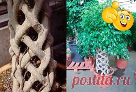 Как заплести фикус Бенджамина, не повредив растение | Комнатные растения | Яндекс Дзен