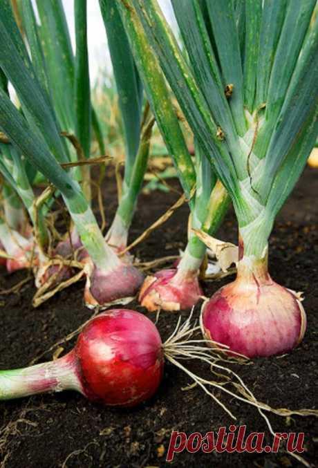В прошлом году попробовала американский метод посадки лука: урожай порадовал, в этом году повторю