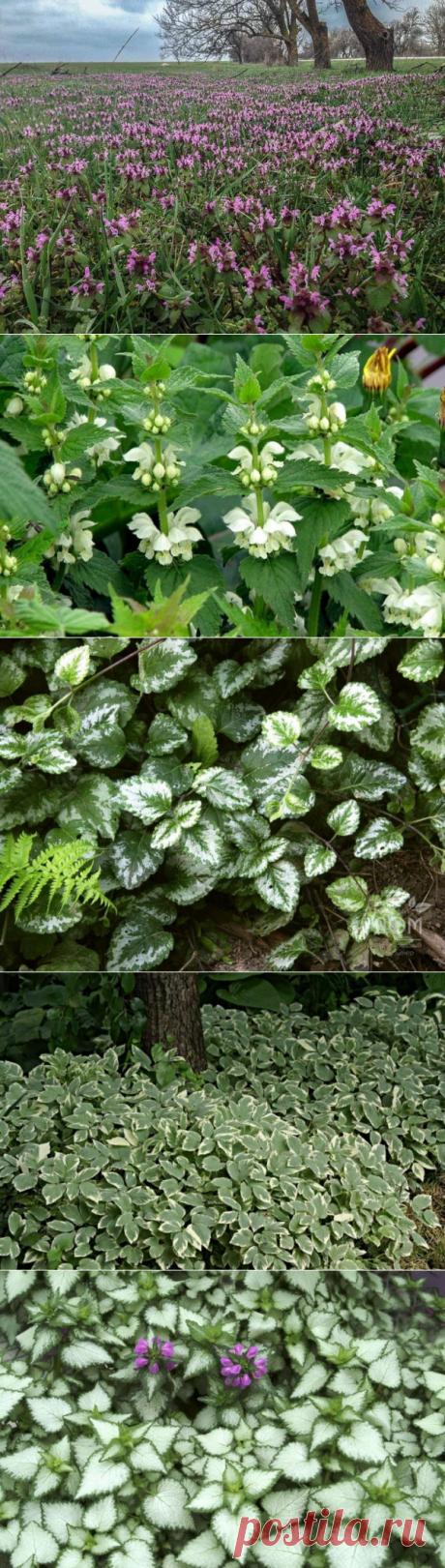 Яснотка: виды с фото, посадка и уход, лечебные свойства и противопоказания