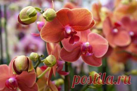 Как разбудить спящие почки орхидеи: 2 действенных способа   В огороде   Яндекс Дзен