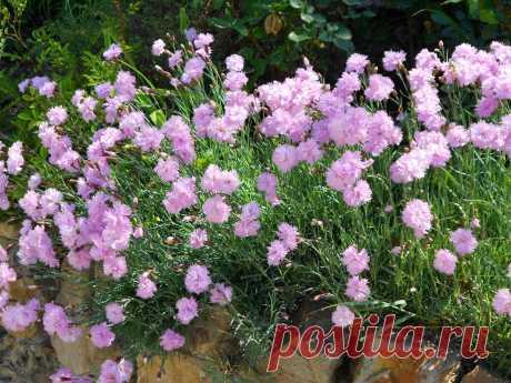 Полюбившиеся мной неприхотливые цветы, которые быстро растут и продолжительно цветут | САД | Яндекс Дзен