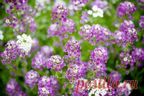Какие цветы посеять на рассаду в марте | Прочие многолетники (Огород.ru)