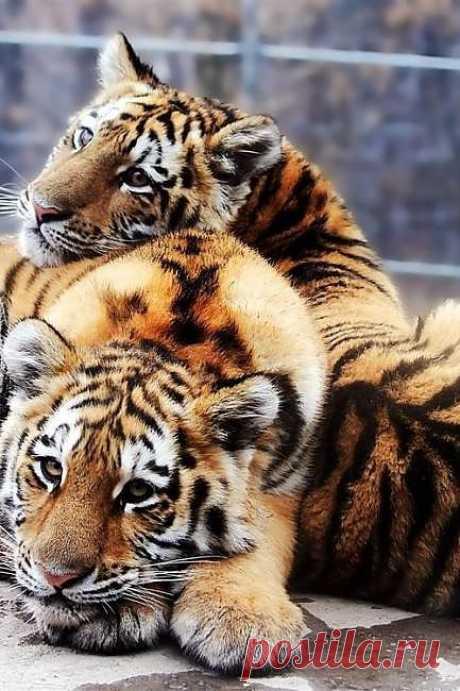 Большие котики | Kote.Rjaka.com