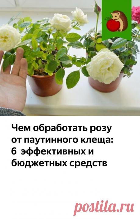 Чем обработать розу от паутинного клеща: 6 эффективных и бюджетных средств   садоёж   Яндекс Дзен