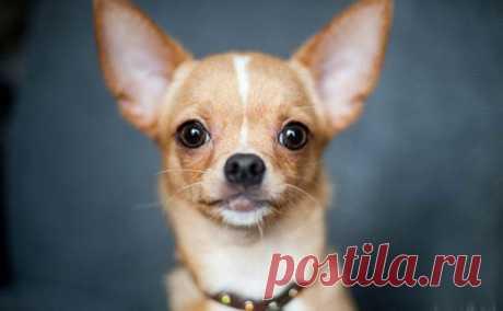 О 10 самых маленьких породах собак — Интересные факты