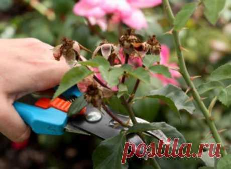 Регулярная обрезка роз – залог их пышного цветения и хорошего роста новых побегов. Однако очень важно проводить ее правильно. Иначе можно погубить растение. Мы расскажем, как этого не допустить. Существуют несколько видов (степеней) обрезки. Они зависят от сезона, группы, к которой принадлежит роза, и высоты побегов растения. Короткая (низкая), или сильная, обрезка роз Применяется весной (после снятия зимнего укрытия) для чайно-гибридных, полиантовых и роз флорибунда. А еще