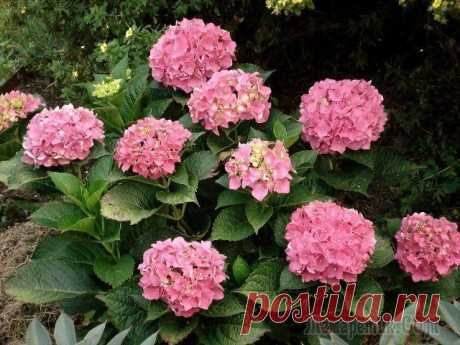 Care of a hydrangea in the fall: the correct preparation of a bush for winter In a midland many hydrangeas for the winter cover. Therefore with cold weather approach these a plant need special leaving. We will tell what to do with a hydrangea in the fall and how to help it safely a feather...