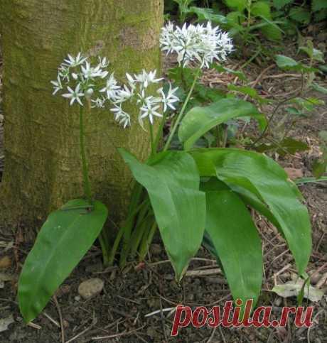 Черемша: выращивание из семян. Как вырастить черемшу