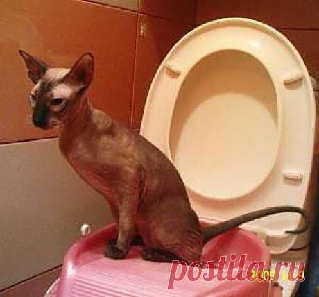 Как приучить кота к унитазу? Инструкция для начинающих котовладельцев   Животные