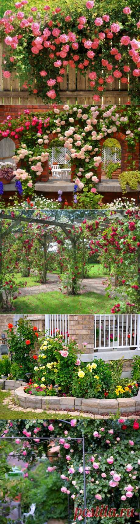 Лучшее украшение для сада: розарий - Портал «Домашний»