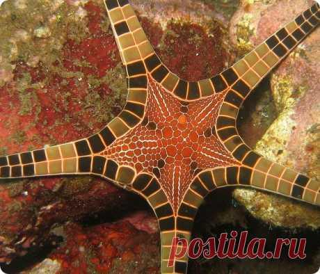 (+1) тема - Iconaster longimanus – сдвоенная морская звезда | УДИВИТЕЛЬНОЕ