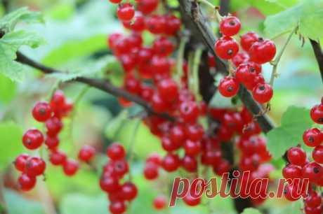 Лечите смородину содой, чтобы забыть о болезнях растения | Огородные шпаргалки | Яндекс Дзен