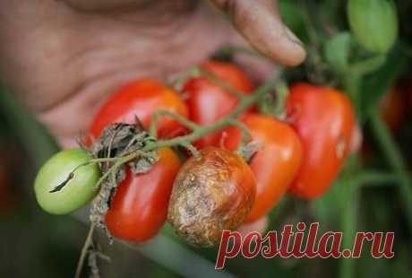 Как я боролась в прошлом году с фитофторой на томатах, и какие средства и способы мне вообще не помогли | Брусника | Яндекс Дзен