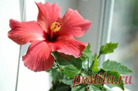 Гибискус (комнатное растение): разновидности, размножение, выращивание, уход.