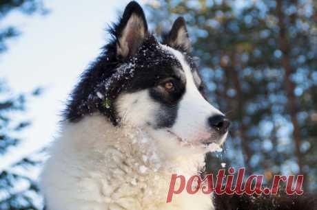 Якутская лайка: описание породы, характер, содержание, уход, фото